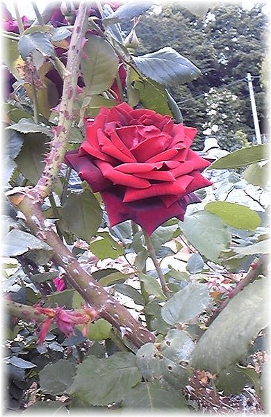 ★閑話休題★「Bloody Rose」ばらもえ_d0155379_23212843.jpg