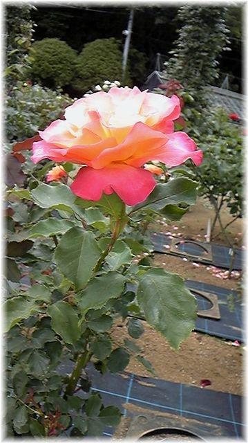 ★閑話休題★「Bloody Rose」ばらもえ_d0155379_23222683.jpg