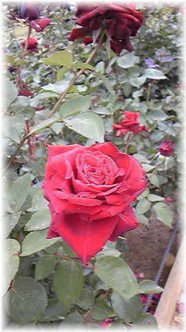 ★閑話休題★「Bloody Rose」ばらもえ_d0155379_23231962.jpg