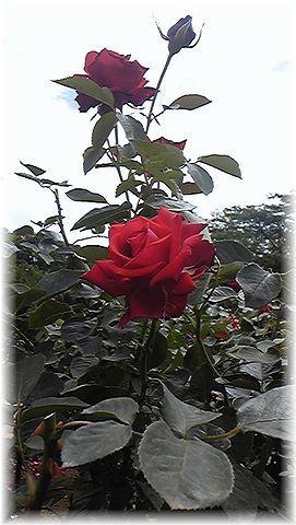 ★閑話休題★「Bloody Rose」ばらもえ_d0155379_23234438.jpg