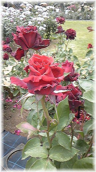 ★閑話休題★「Bloody Rose」ばらもえ_d0155379_2324998.jpg