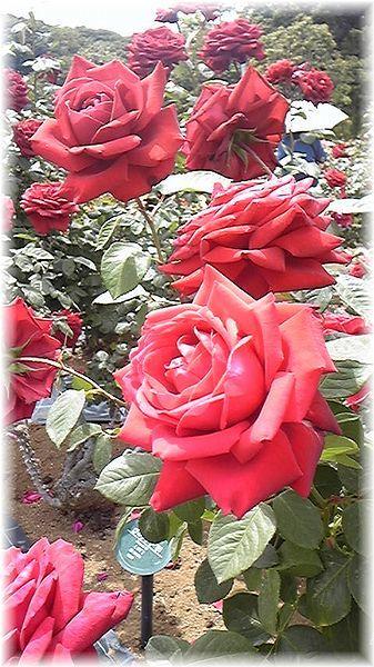 ★閑話休題★「Bloody Rose」ばらもえ_d0155379_23253299.jpg