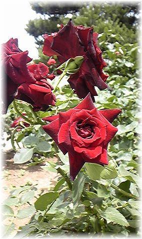 ★閑話休題★「Bloody Rose」ばらもえ_d0155379_23255579.jpg
