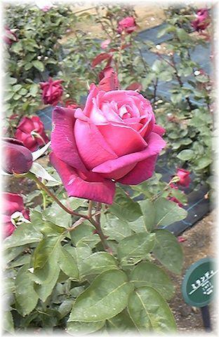 ★閑話休題★「Bloody Rose」ばらもえ_d0155379_2325779.jpg