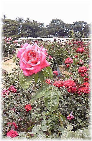 ★閑話休題★「Bloody Rose」ばらもえ_d0155379_23263691.jpg