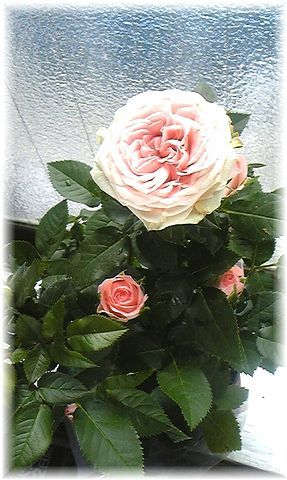 ★閑話休題★「Bloody Rose」ばらもえ_d0155379_23265918.jpg
