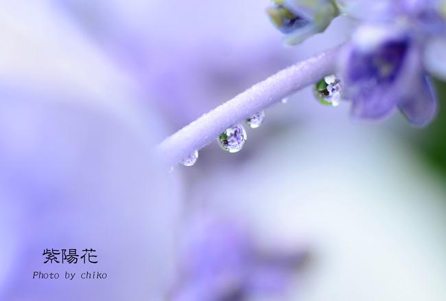 梅雨入りとあじさい♪_e0221779_15432854.jpg