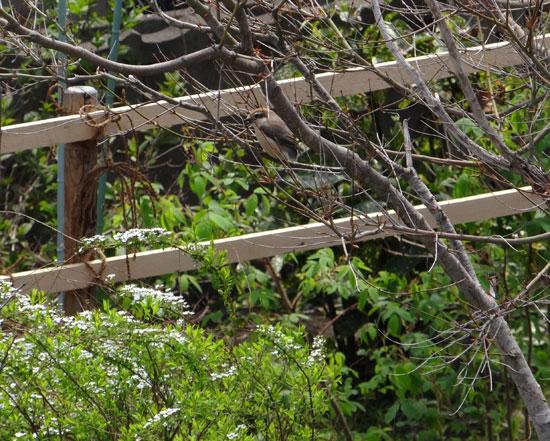 庭のモズの追っかけ。つがいのモズ、ペリットなど♪_a0136293_16433669.jpg