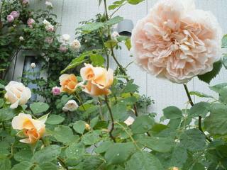 雨の薔薇園_f0255704_18444152.jpg