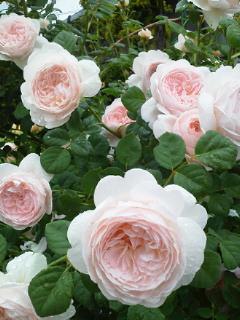 雨の薔薇園_f0255704_18444198.jpg