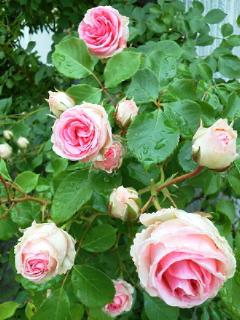 雨の薔薇園2_f0255704_18595377.jpg
