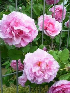 雨の薔薇園2_f0255704_18595381.jpg