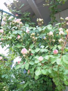 雨の薔薇園2_f0255704_18595382.jpg