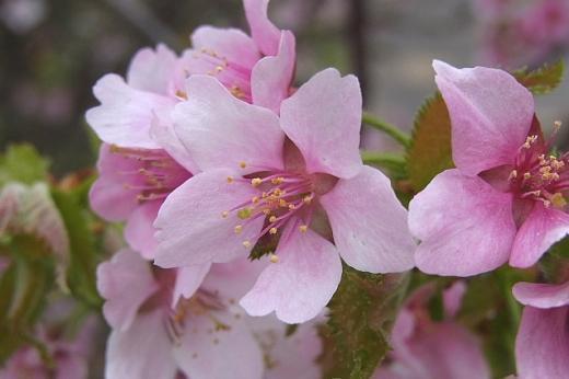 2013年5月30日(木):桜、かなり散る[中標津町郷土館]_e0062415_16173659.jpg