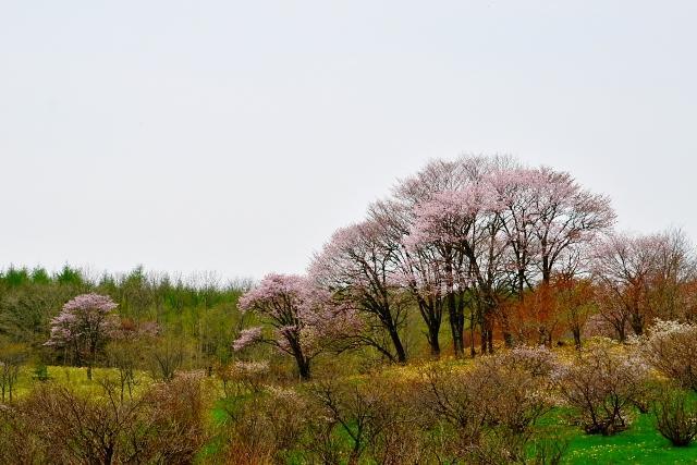 2013年5月30日(木):桜、かなり散る[中標津町郷土館]_e0062415_1618977.jpg