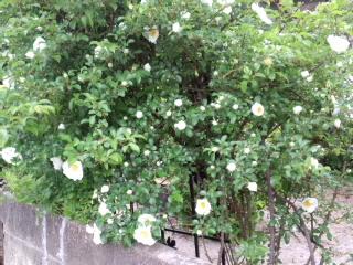 石井さん家のバラの花_d0027486_11473958.jpg