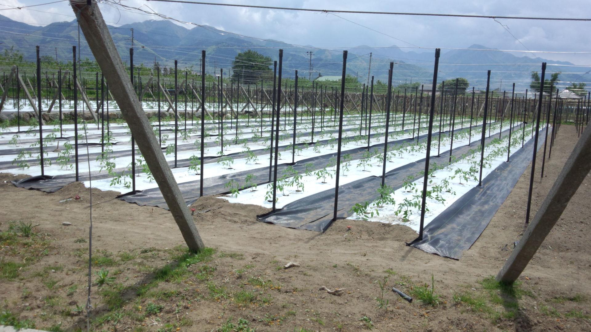 トマトの定植 数千本!_c0110298_20115045.jpg