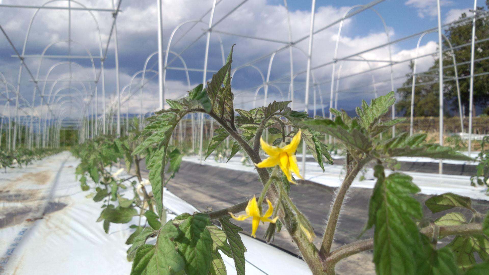 トマトの定植 数千本!_c0110298_2014354.jpg