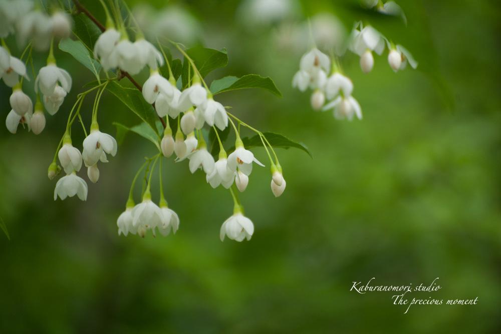 エゴの木が花盛り_c0137403_21521632.jpg