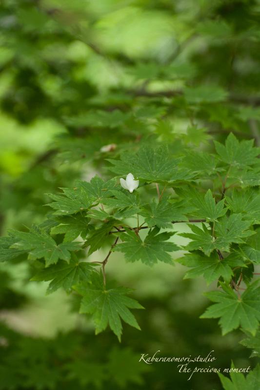エゴの木が花盛り_c0137403_2153416.jpg