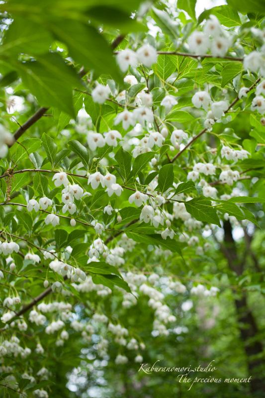 エゴの木が花盛り_c0137403_21541864.jpg
