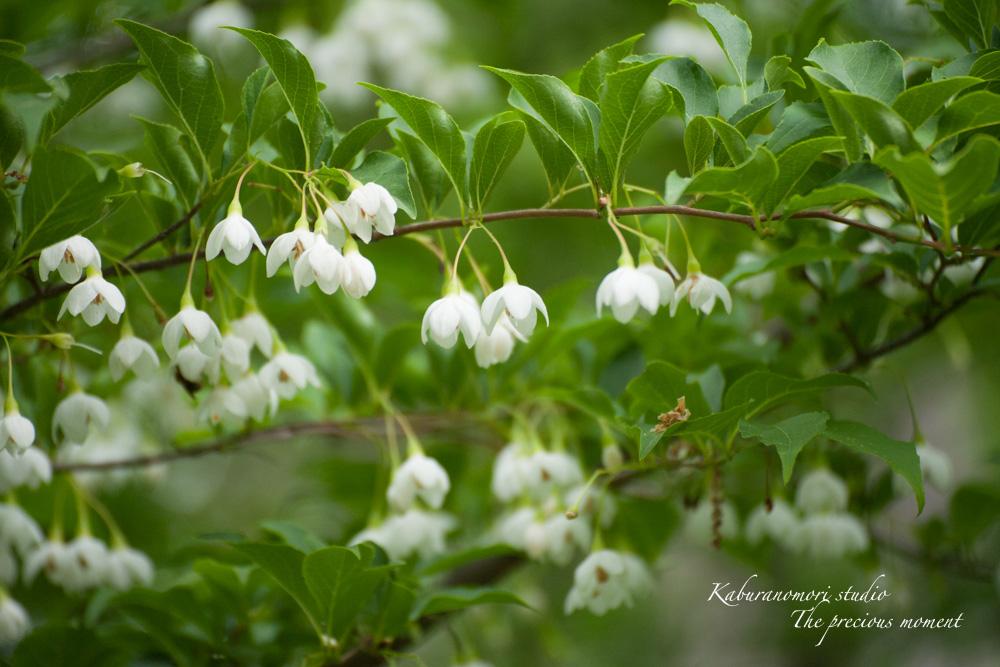 エゴの木が花盛り_c0137403_22248100.jpg