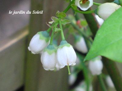 清楚☆ブルーベリーの白い花 &下半期に向けて・・・_c0098807_18141242.jpg
