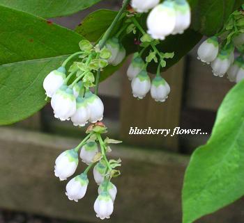 清楚☆ブルーベリーの白い花 &下半期に向けて・・・_c0098807_18224695.jpg