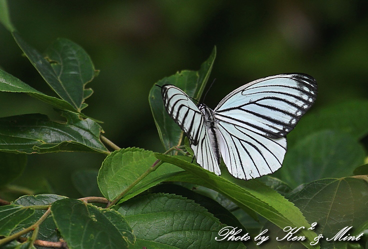 「アカボシゴマダラ春型」 と 「ジャコウアゲハ」 蝶との出会い ♪_e0218518_1834627.jpg