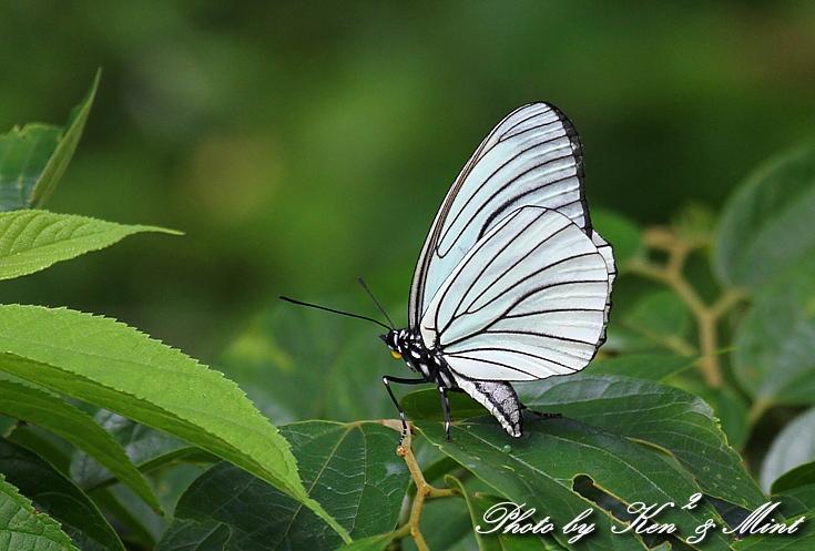 「アカボシゴマダラ春型」 と 「ジャコウアゲハ」 蝶との出会い ♪_e0218518_1842581.jpg