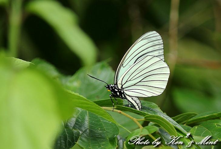 「アカボシゴマダラ春型」 と 「ジャコウアゲハ」 蝶との出会い ♪_e0218518_1853314.jpg