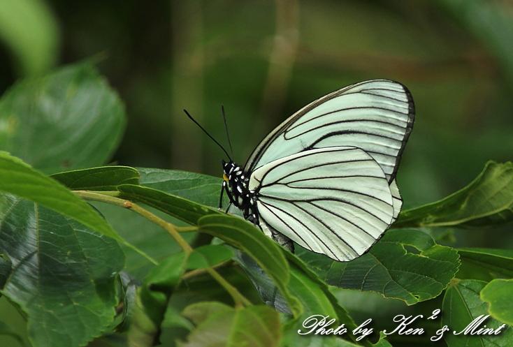 「アカボシゴマダラ春型」 と 「ジャコウアゲハ」 蝶との出会い ♪_e0218518_185853.jpg