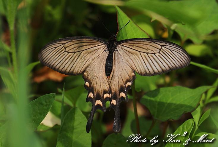 「アカボシゴマダラ春型」 と 「ジャコウアゲハ」 蝶との出会い ♪_e0218518_186585.jpg