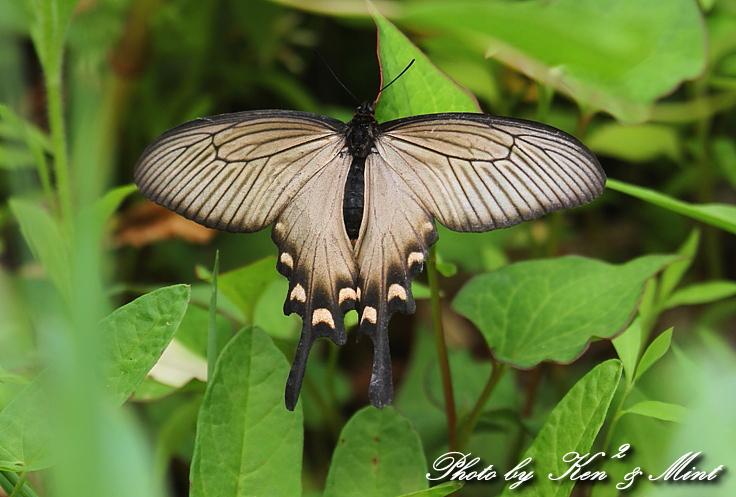 「アカボシゴマダラ春型」 と 「ジャコウアゲハ」 蝶との出会い ♪_e0218518_1871017.jpg