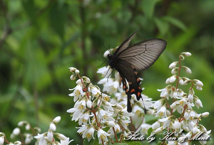 「アカボシゴマダラ春型」 と 「ジャコウアゲハ」 蝶との出会い ♪_e0218518_1872036.jpg