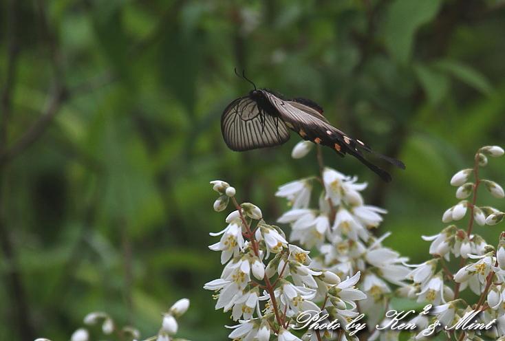 「アカボシゴマダラ春型」 と 「ジャコウアゲハ」 蝶との出会い ♪_e0218518_1873029.jpg