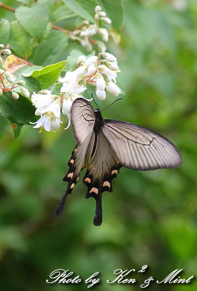 「アカボシゴマダラ春型」 と 「ジャコウアゲハ」 蝶との出会い ♪_e0218518_1874272.jpg