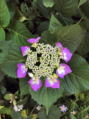 紫陽花_b0262124_13153028.jpg