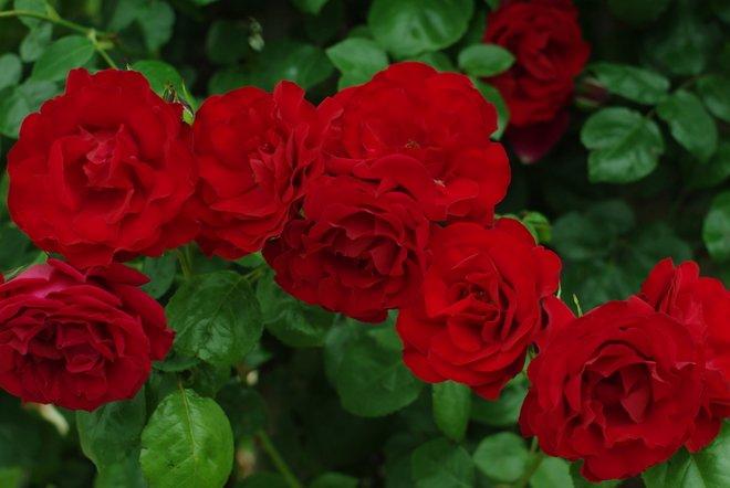 花フェスタ2013  Part4 薔薇 バラ ばら。。。_e0171336_1838197.jpg