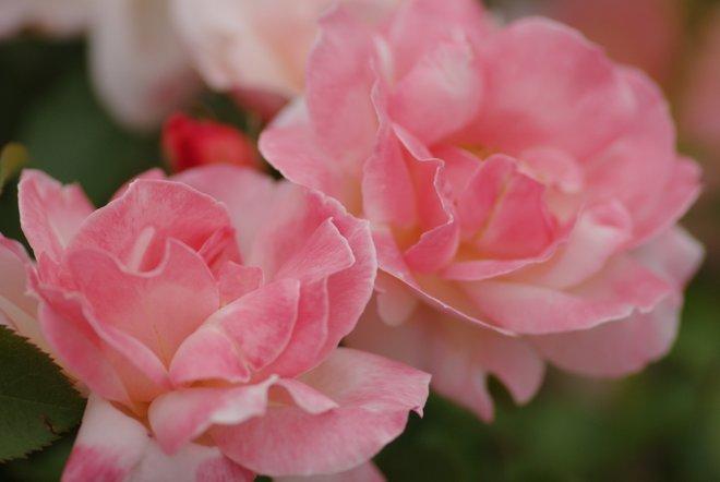 花フェスタ2013  Part4 薔薇 バラ ばら。。。_e0171336_18391119.jpg