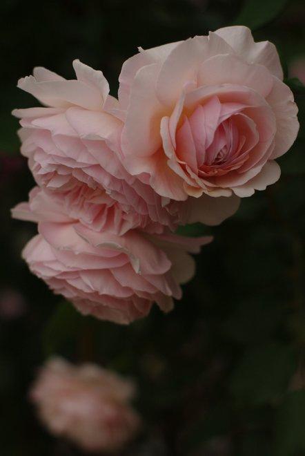 花フェスタ2013  Part4 薔薇 バラ ばら。。。_e0171336_18414523.jpg
