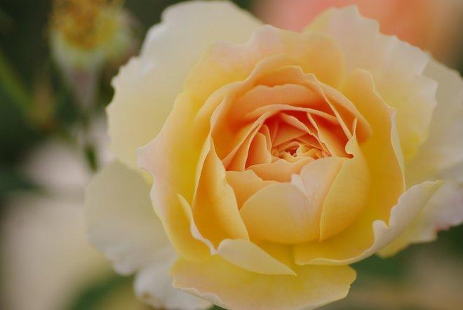 花フェスタ2013  Part4 薔薇 バラ ばら。。。_e0171336_18433919.jpg