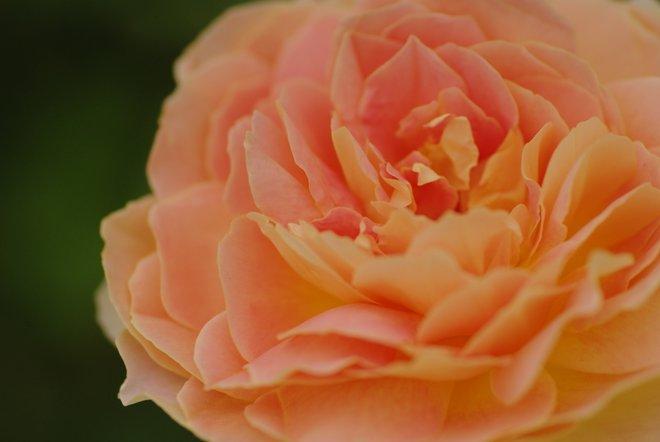 花フェスタ2013  Part4 薔薇 バラ ばら。。。_e0171336_18461641.jpg