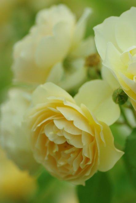 花フェスタ2013  Part4 薔薇 バラ ばら。。。_e0171336_18463783.jpg