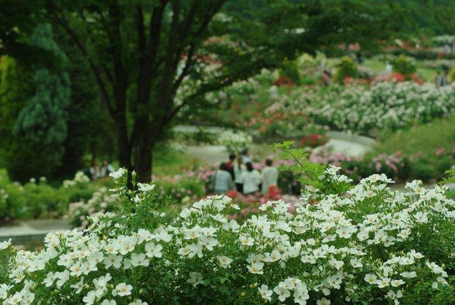花フェスタ2013  Part4 薔薇 バラ ばら。。。_e0171336_18474448.jpg