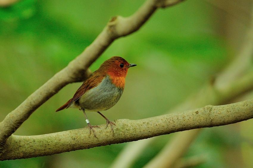 コマドリ(Japanese Robin)~2013.06_b0148352_1927432.jpg