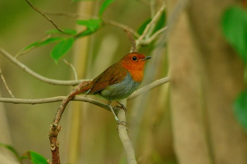コマドリ(Japanese Robin)~2013.06_b0148352_19283881.jpg