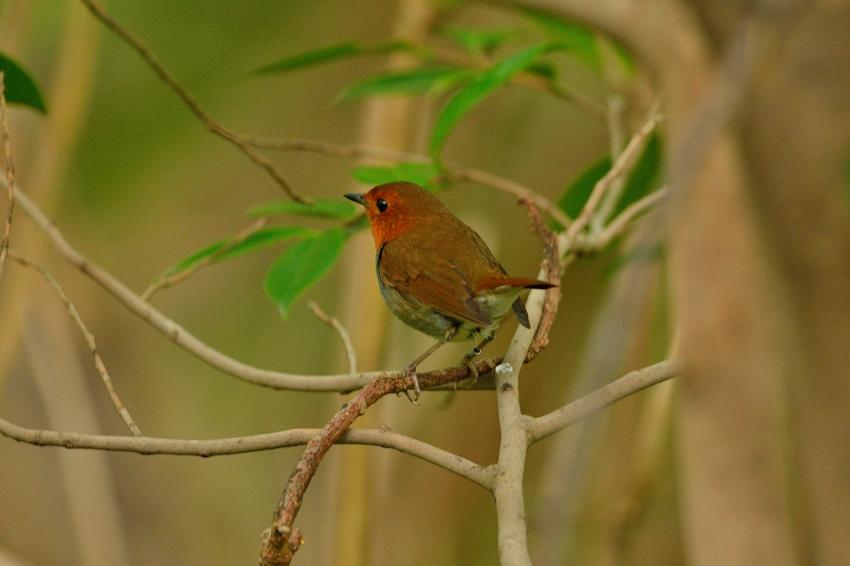 コマドリ(Japanese Robin)~2013.06_b0148352_19285316.jpg