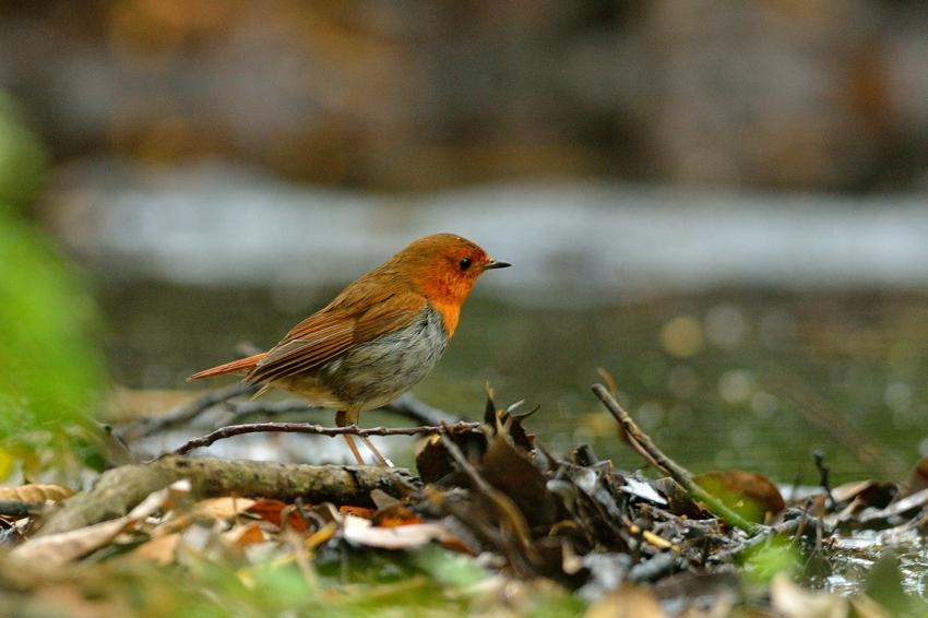 コマドリ(Japanese Robin)~2013.06_b0148352_1928770.jpg