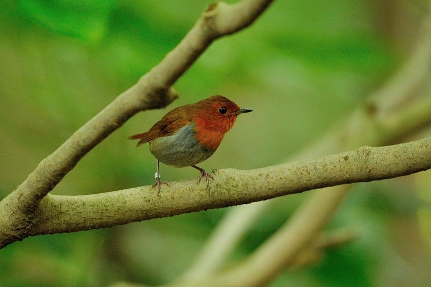 コマドリ(Japanese Robin)~2013.06_b0148352_1929426.jpg